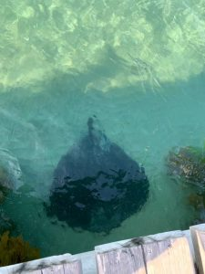 A stingray in the water at Shelly Beach
